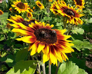 The Birds and the Bees… and the Sunflowers